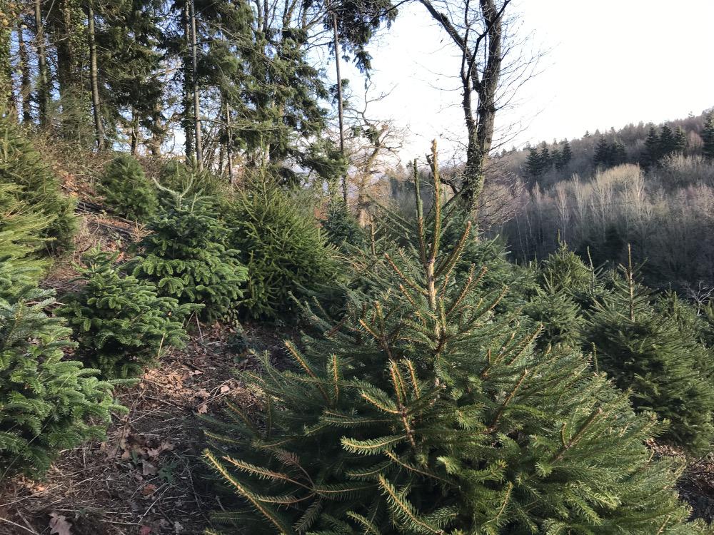 Growing fir trees